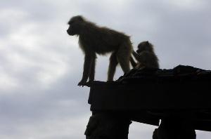 Litigation is no monkey business